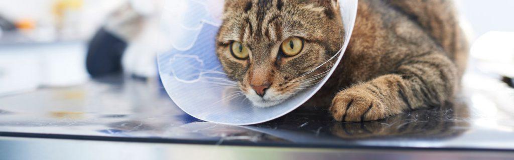 Neutering your cat | Yew Tree Veterinary Surgery